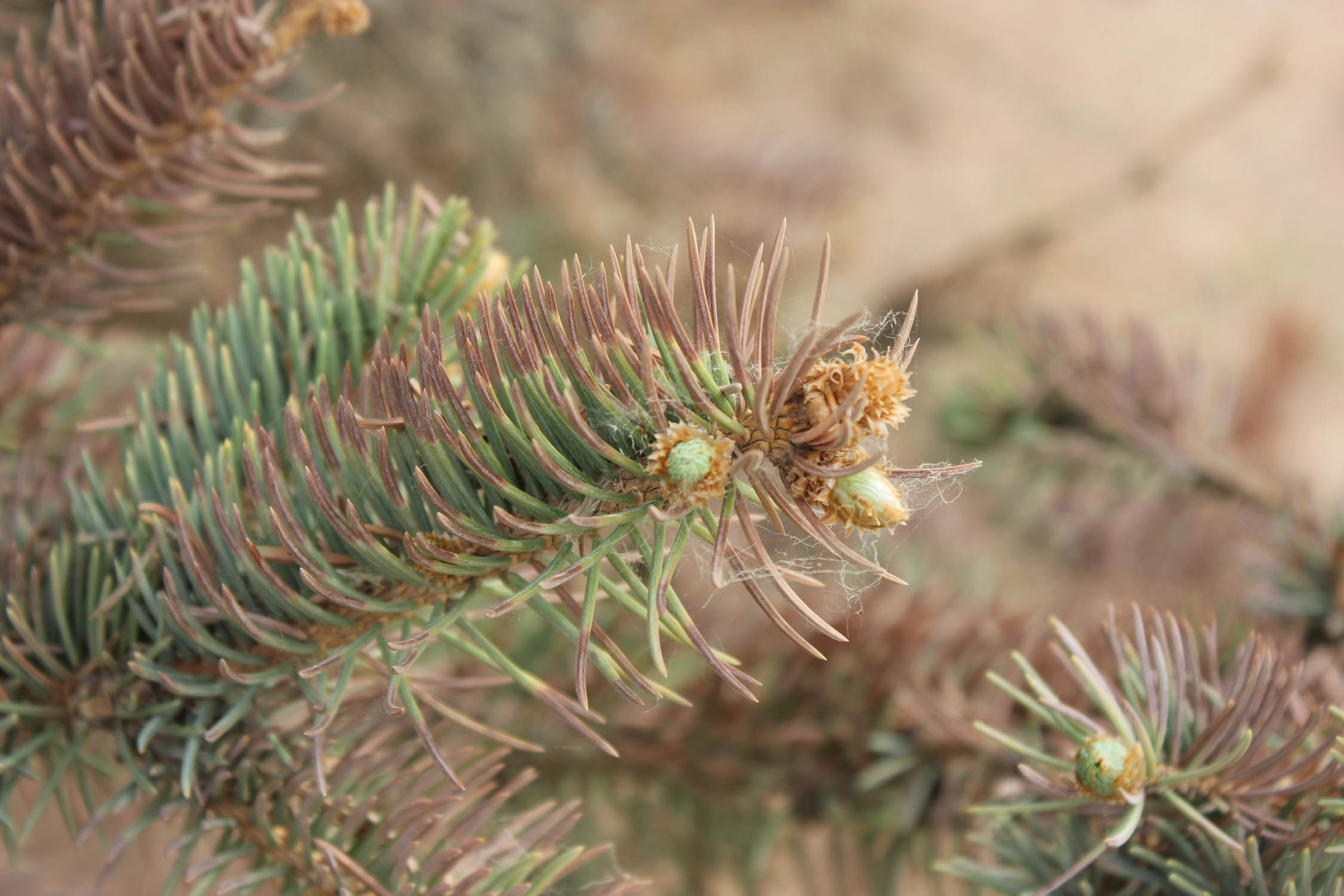 Why Is My Evergreen Turning Brown And Losing Needles
