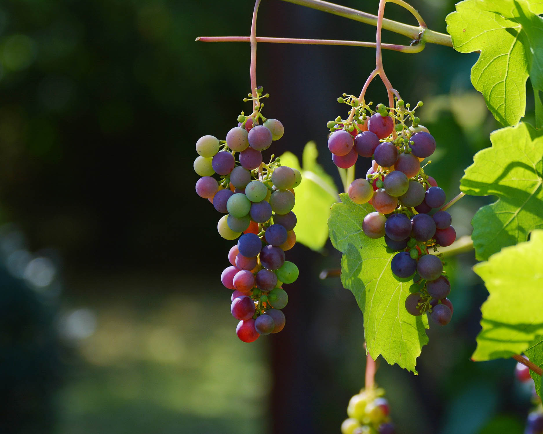 Grapes Gardening College Of Agriculture And Bioresources