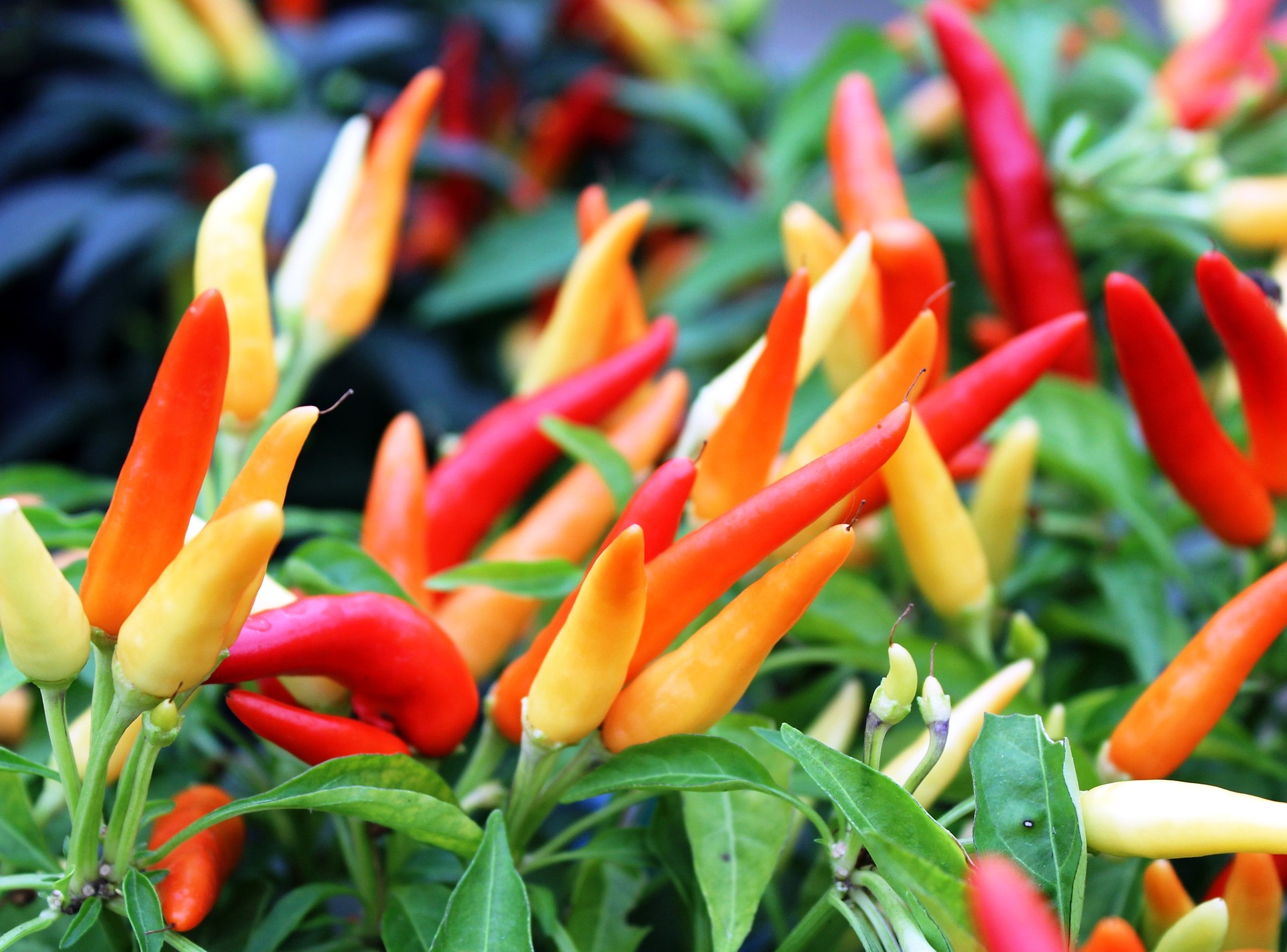 Peppers - Gardening - College of Agriculture and