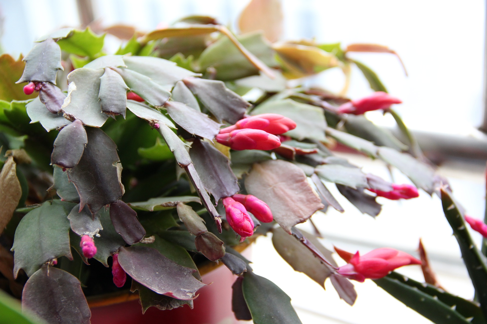 Christmas Cactus Diseases.Christmas Cactus Gardening College Of Agriculture And