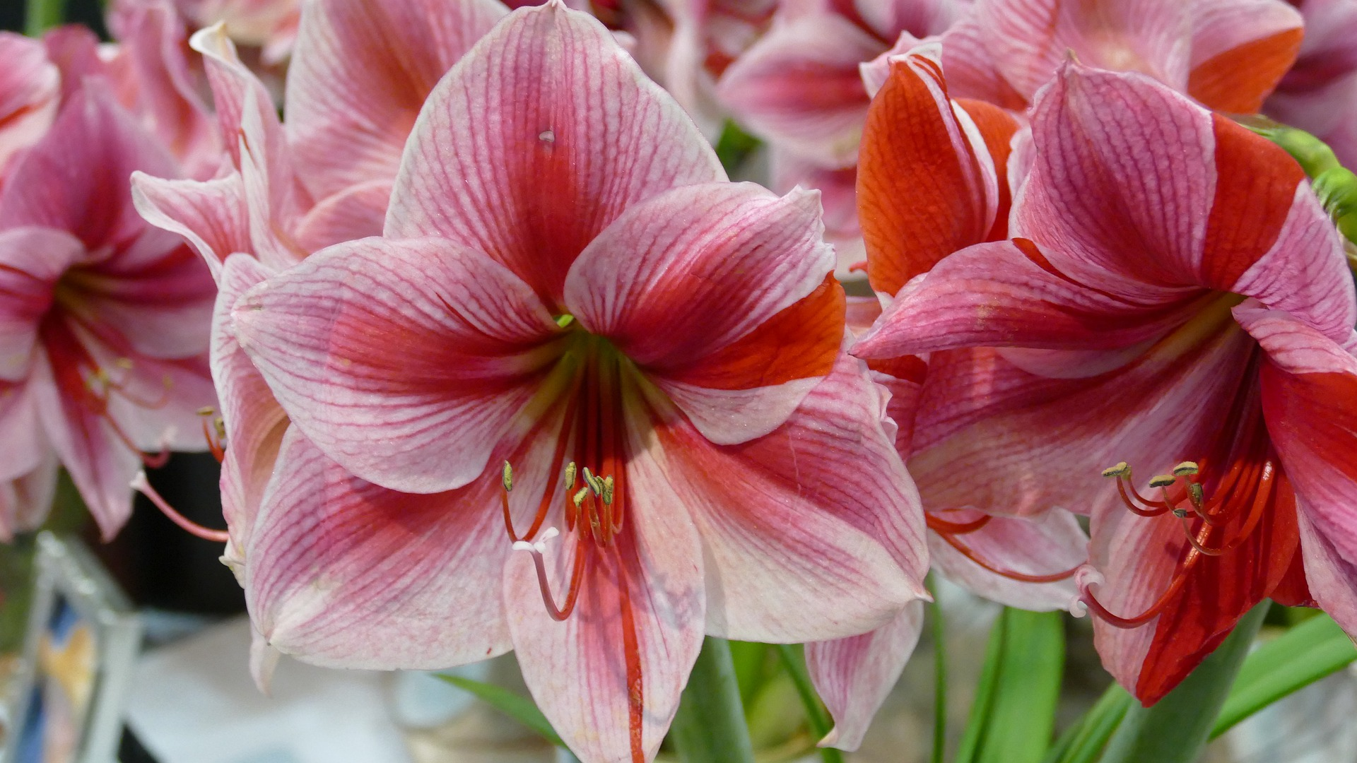Amaryllis Gardening College Of Agriculture And Bioresources